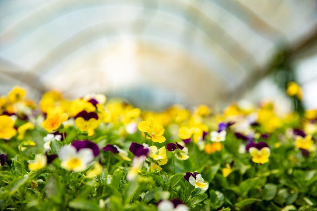 Essbare Blüten für herrliche Salate - Foto (c) Julian Kutos